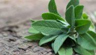 Sage Là Gì? Giải Mã Công Dụng Của Sage Trong Thế Giới Ẩm Thực
